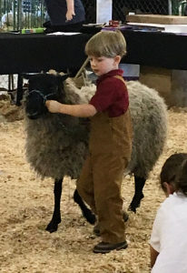 Gotland Sheep Shows