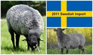 Swedish Gotland Semen for AI