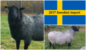 2017 Swedish Gotland Import