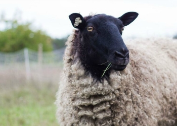 75% Gotland Ewe