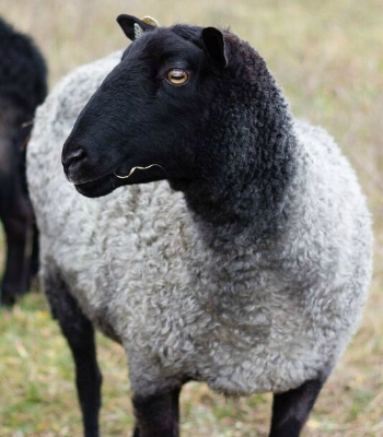 Gotland Ewe-Namekagon Valley Farm, WI