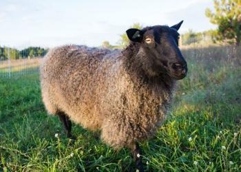 81.25% Gotland Ewe