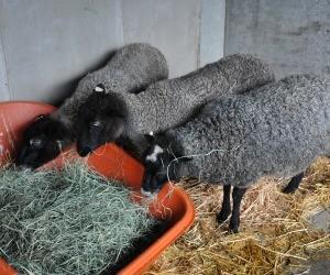 Gotland Lambs