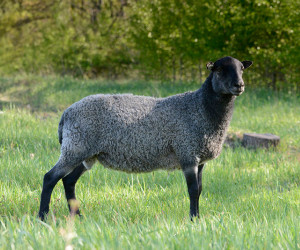 Egil Gotland Yearling Saga Sheep