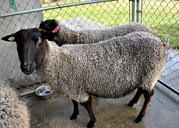 Registered 81.25% Gotland Ewe - Pacific Fibers Farm