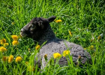 Gotland Lamb
