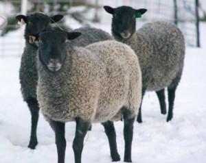 Modern Gotland Sheep