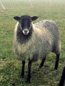 100% NZ Gotland -Ambling Brook Farm, MD