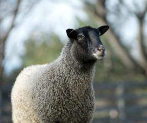 Saga Sheep