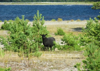 Sheep Grazing on the Coast of Gotland Island