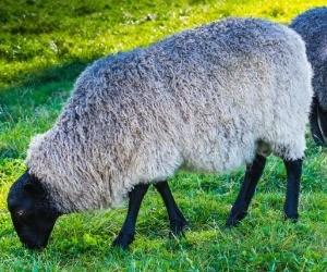 Gotland Ewe Spinning W Farm