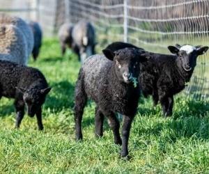 Spinning W Farm Gotland Lambs