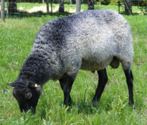 Gotland Sheep Breeders Association of North America