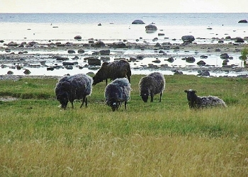 Sheep Grazing On Gotland's Coastline
