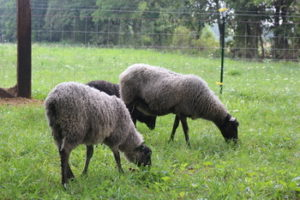 Gotland Sheep at Chicken Scratch Poultry